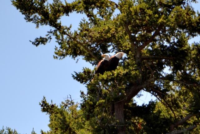 Hornby - Weißkopfseeadler