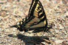 Schmetterling Widgeon Creek