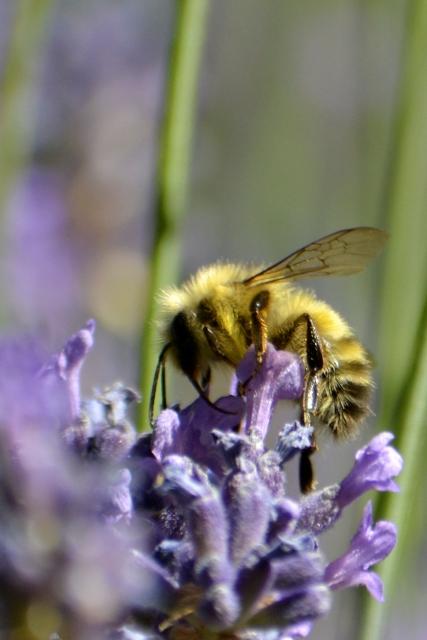 Hornby - Honigbiene