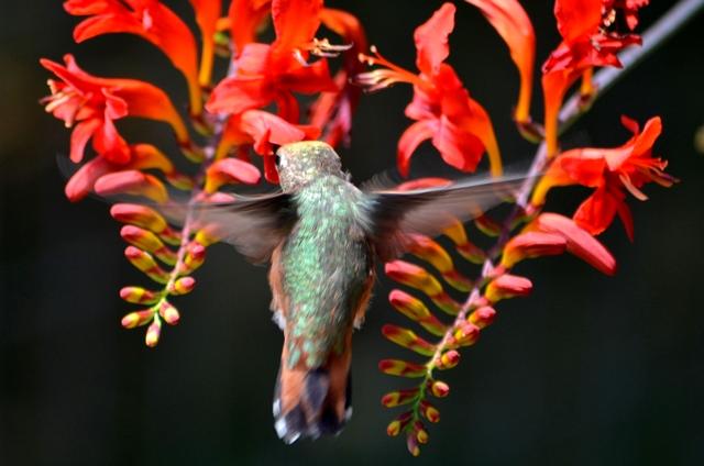 Hornby Island - Kolibri