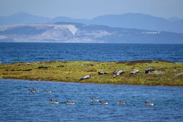 Hornby Island - Robben vor Helliwell Park
