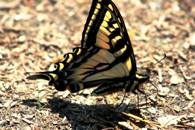 Widgeon Creek Schmetterling