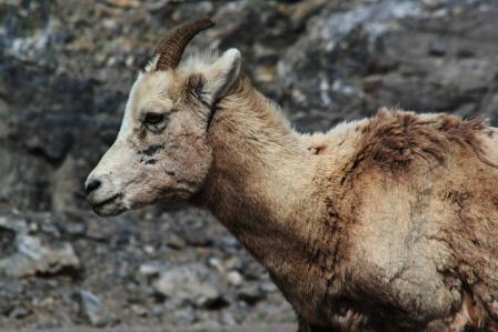 Big Horn Schaf in den kanadischen Rocky Mountains