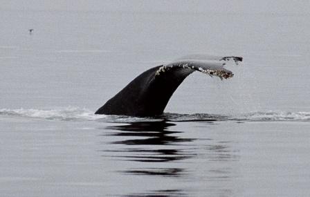 Wale vor Vancouver Island
