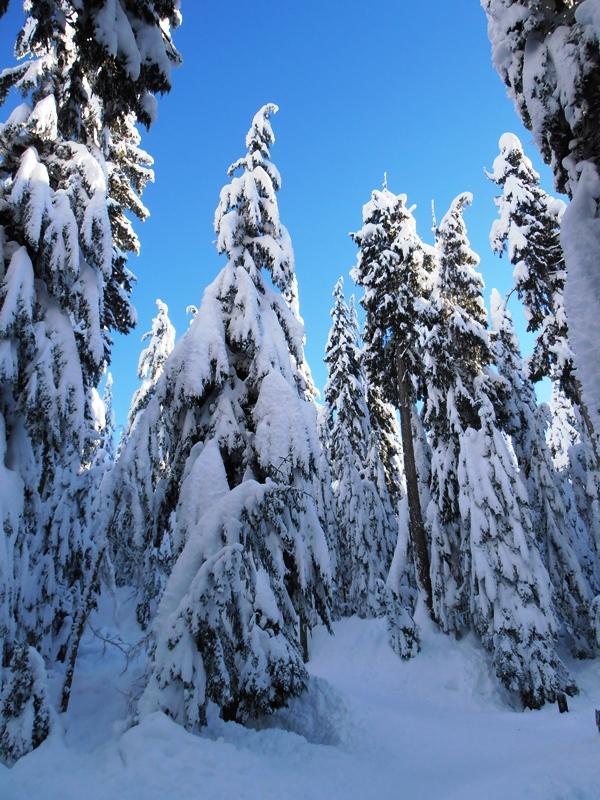 Cypress Mountain Baeume