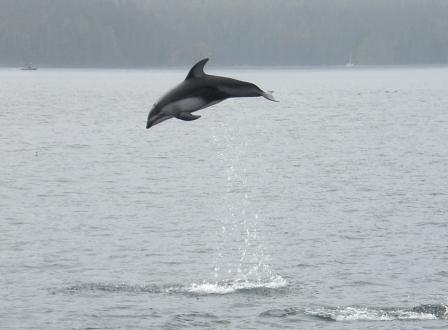 Delfin vor Vancouver Island
