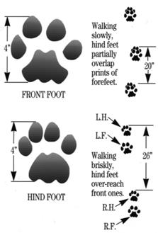House Cat And Lynx Footprints