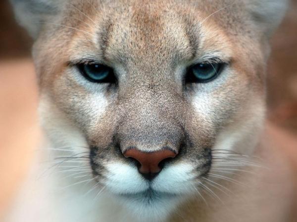 Wie man Pumas kostenlos trifft