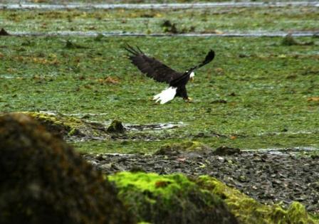 Bald Eagle, Salt Spring Island