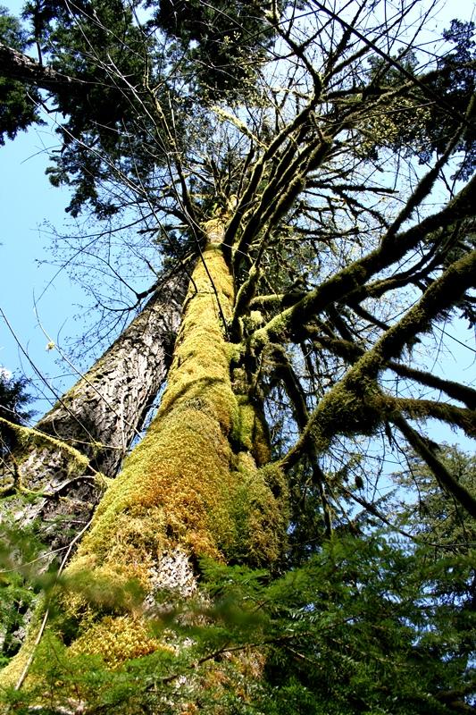 gigantischer Baum