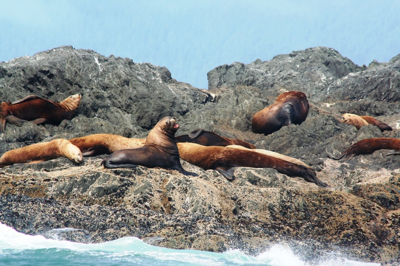 Seehunde vor Tofino