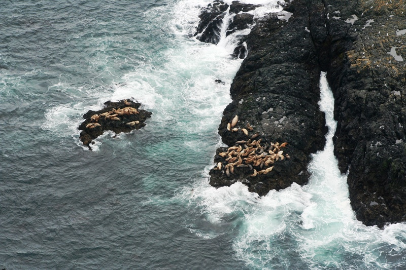 Seelöwen in Tofino