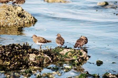 Surfbirds Vancouver Island