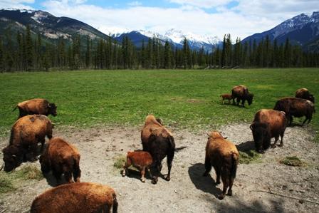 Buffalo Ranch, Rocky Mountains
