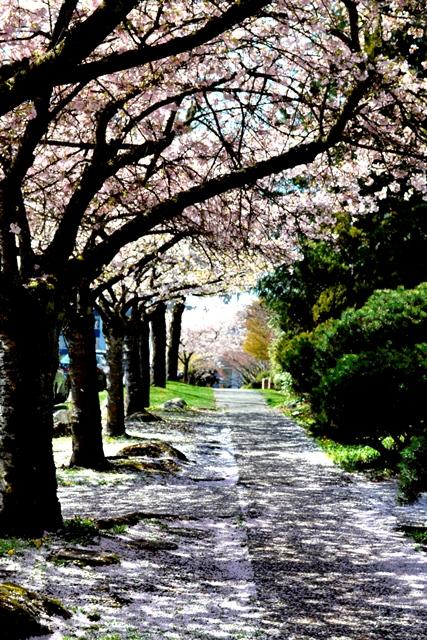 Kirschbluete in Vancouver