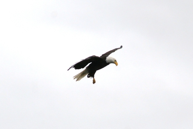 Bald Eagle, Salt Spring Island, BC